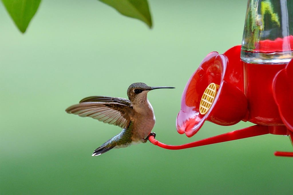 make hummingbird nectar without boiling