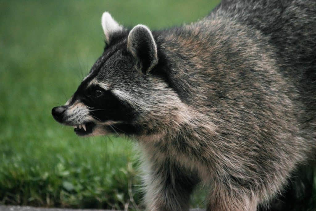 can raccoons see red lights