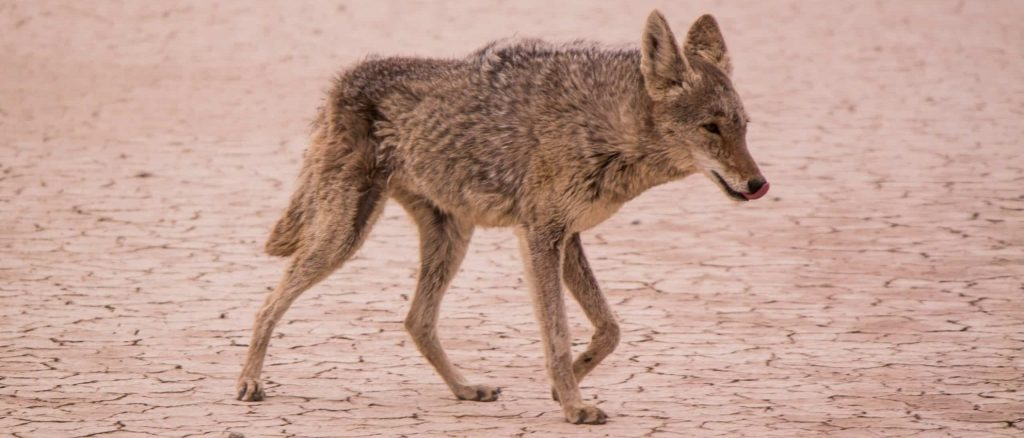 can coyotes see red light