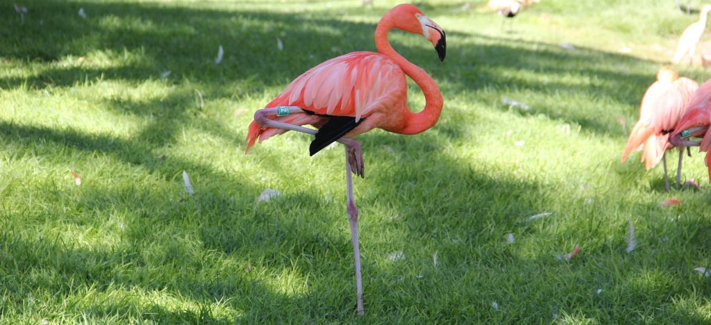 why do flamingos stand on one leg