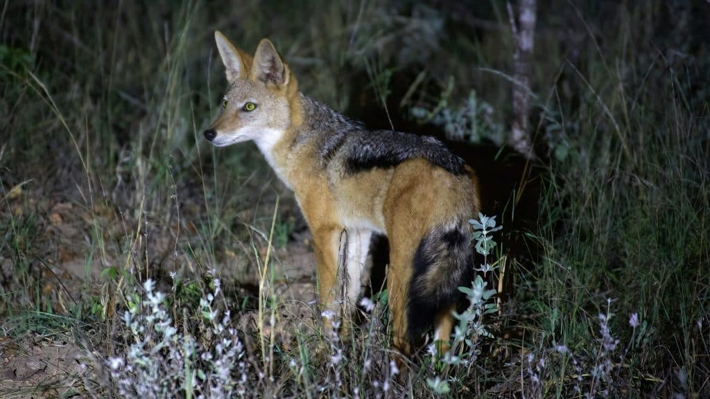 how to hunt fox at night