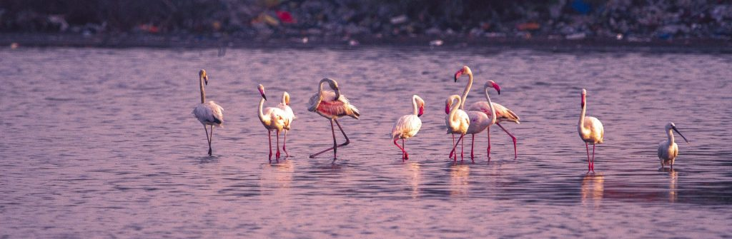 Can flamingos fly