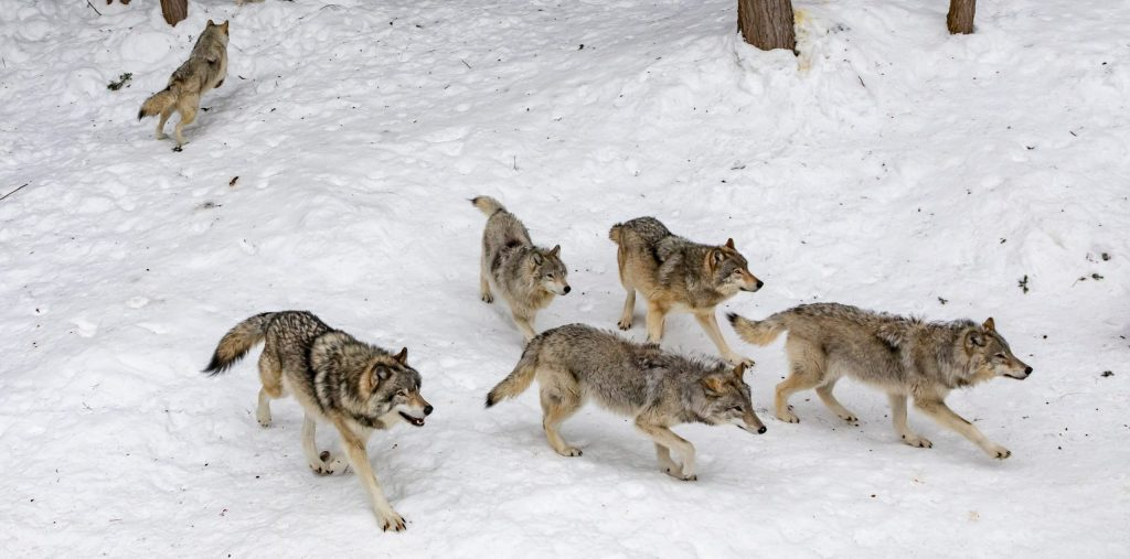 How To Hunt Wolves 2