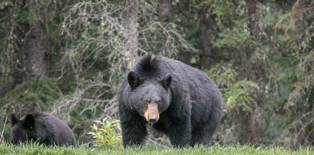 how to hunt black bear2