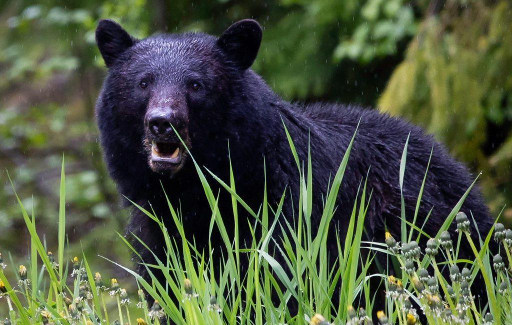 how to hunt black bear 1