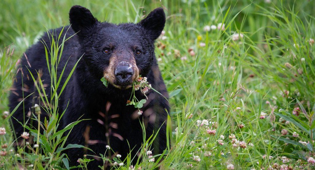 how to hunt black bear
