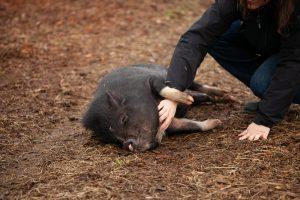 where to shoot a hog