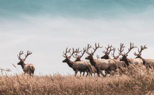how to attract deer